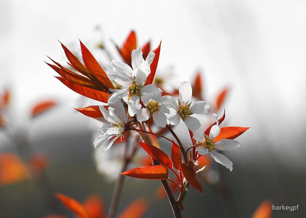 New White Blossum by barkeypf
