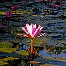 Lily in the pond by demistified