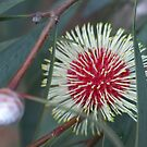 Hakea Laurina by melbourne