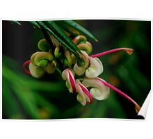 Grevillea Unknown. Poster
