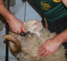 Shearing the Ram by Robyn Stewart