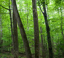 Forest, on the way to Cades Cove by John Wright