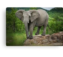 Posing I am (Elephant - loxodonta africana) Canvas Print