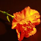 Carnation's Glow by artsthrufotos