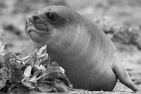 Female Southern Elephant Seal by Robert Elliott