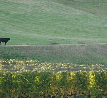 Cow in the Vineyards by Libbyfordham