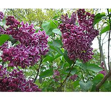 Lovely Lilacs Photographic Print