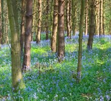 Bluebell Path by Ann Garrett