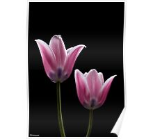 PINK TULIPS 2 Poster