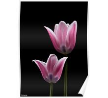 PINK TULIPS 3 Poster
