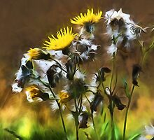 Dandelion Life Cycle with artistic filter by Violaman