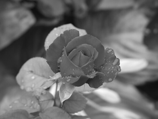 Rose b and w by Cosmin Roszkos
