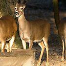 Looks Like Deer Singing by imagetj