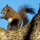 Squirrel Eating in an Oak Tree by imagetj