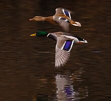 The flight of the Mallard by Dave  Knowles