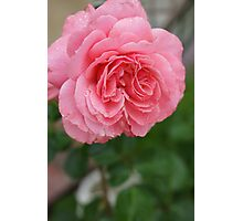 Hope for a new day!  Refreshed in pink!  Rose gets a drink in the dew! Hope in pink!   La Mirada, CA Photographic Print