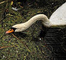 Swan drinking by Karen  Betts