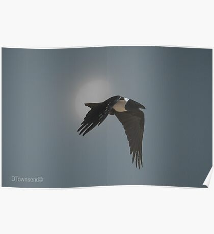 The Crow  (Corvus albus) Poster