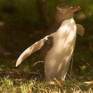 The rare yellow eyed penguin by Elana Bailey