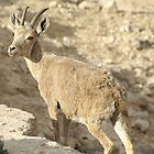 The ibex by Moshe Cohen