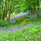 Bluebell Woods by Mike Paget