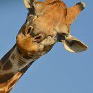Hello Giraffe (Giraffa camelopardalis) by Deborah V Townsend