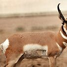 Pronghorn Antelope by Ryan Houston