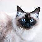 Siamese Like Rag Doll Cat by Ryan Houston
