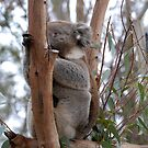 Koala by KeepsakesPhotography Michael Rowley