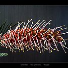Gorgeous Grevillea by Magee