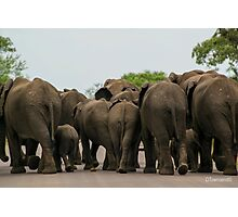Elephants (Loxodonta africana) Photographic Print