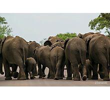 Elephants (Loxodonta africana) Photographic Print