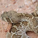 Rattlesnake by Teri Billington
