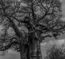 Baobab Tree (Adansonia digitata) Sticker