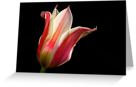 Tulip - Red and White by cclaude
