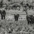 Three Elephants (Loxodonta africana) by Deborah V Townsend