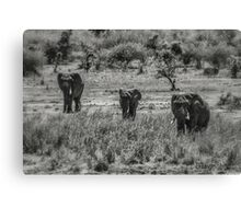 Three Elephants (Loxodonta africana) Canvas Print