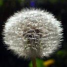 Dandelion B by buddykfa