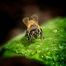 Bee (Apis mellifera) by Deborah V Townsend