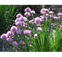 Chive Beds Photographic Print