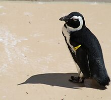 Another Cute African Penguin by haley-cat