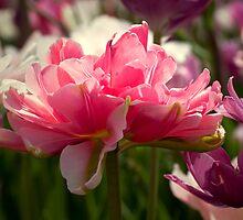 Peony Tulips by jenndes