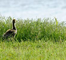 Gosling at Day's End by Bonnie T.  Barry