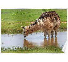 Llama on the Farm Poster