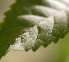 Macro leaf by Freelancer