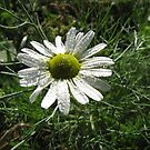 Daisy in Rain by orko