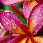 Pink Frangipani Flowers by Kirsten H