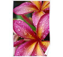 Pink Frangipani Flowers Poster