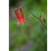 Red Columbine 2 Photographic Print