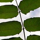 Leaves by elasita
